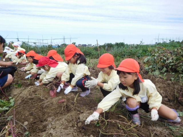 年中児 芋掘り